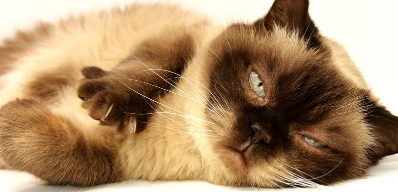 mascota gato balines
