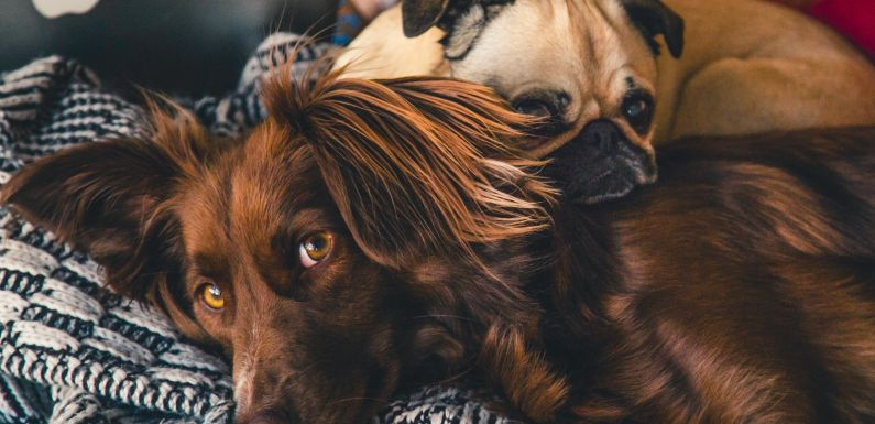 Desparasitación en los perros